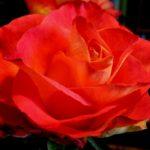 Ansprüche und Bedürfnisse, Rosenblüte von Robert Graf